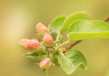 Nice tender pink buds of blossoming spring apple tree