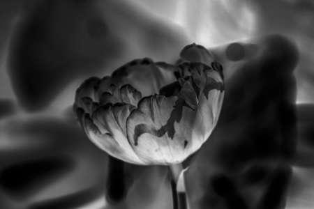 Big tulip in black negative image like fantasy Stock Photo