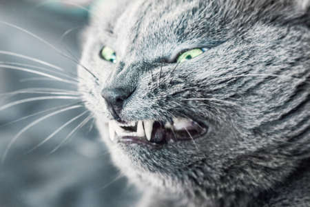 Closeup of grin of ault gray cat