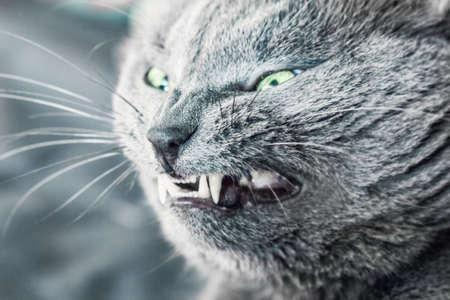 hallowmas: Closeup of grin of ault gray cat