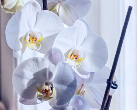 white orchids: Nice white orchids blooming in light colours