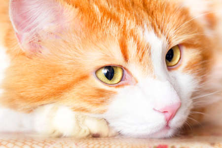 imperturbable: Nice pensive portrait of adult red cat