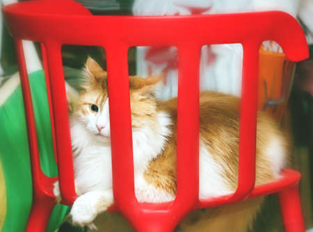 irritation: Adult beauty angry ginger cat on chair