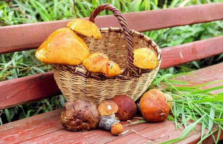 mushrooming: Fresh mushrooms in basket at fall day