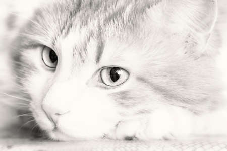 imperturbable: Nice pensive portrait of adult cat in black and white Stock Photo