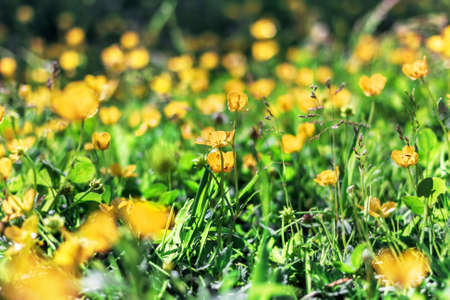 Nice bright yellow buttercups in sunny grass