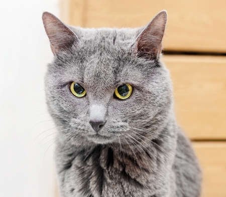 gray: Beauty adult gray cat is focused in room Stock Photo