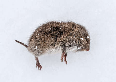 Gray little frozen mouse in snow at cloudy winter day Stock Photo