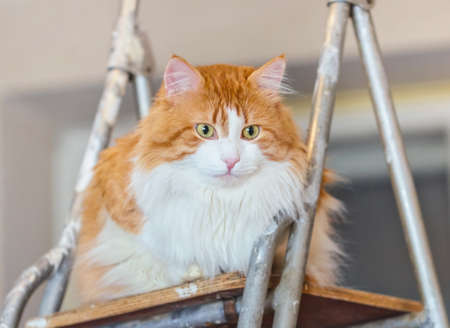 Pretty adult red cat on ladder in light room Stock Photo