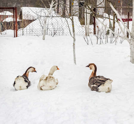 Three adult gooses in snow at cloudy winter day Stock Photo