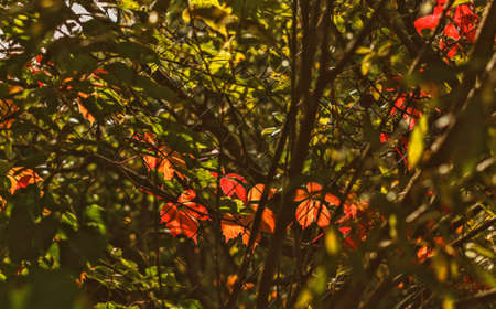 Great autumn grape leaves in sunlight for happy mood Stock Photo