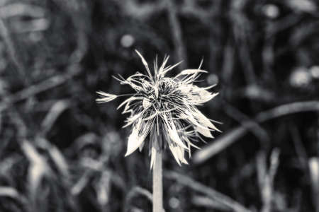 Wet dandelion after rain at summer cloudy weather black and white