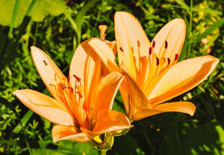Great orange garden lilies at sunny summer weather
