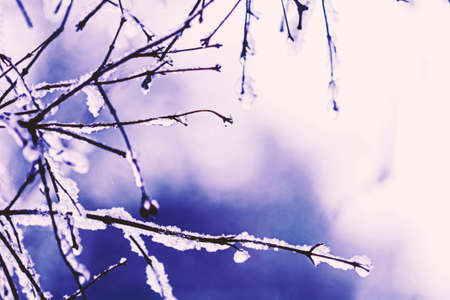 Beauty snow-covered branches with drops at violet tones
