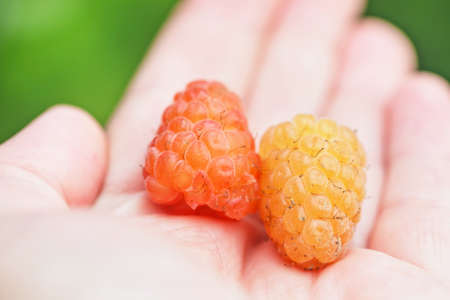 Nice ripe yellow raspberry in palm of hand