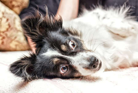 Pretty surprised black and white dog lying
