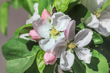 Flowering apple tree branch at happy bright sunny weather