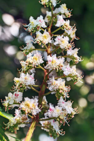 Fresh aromatic flowering branch of chestnut at spring sunny day Stock Photo