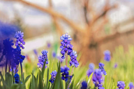 Muskari blue flowers at sunny spring happy day