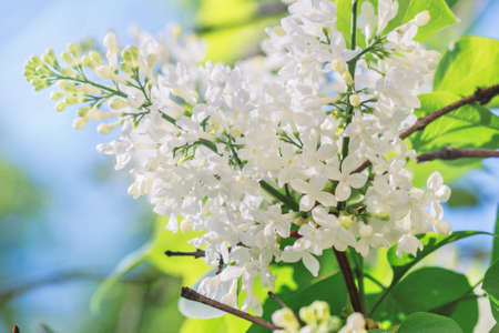 Beauty fresh white flowering lilac branch at sunny spring day