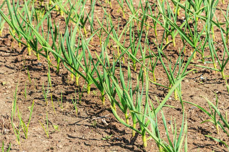 Young green garlic on beds at sunny spting weather