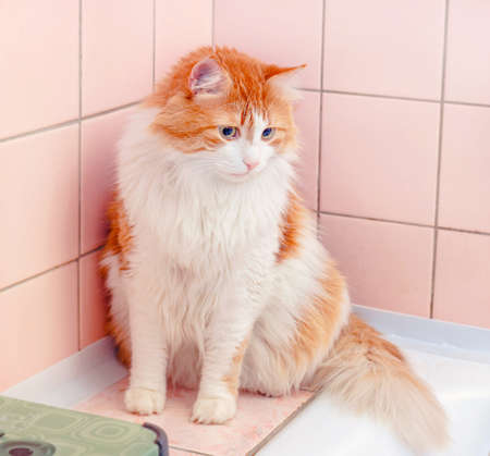 Pretty adult red cat in pink bathroom