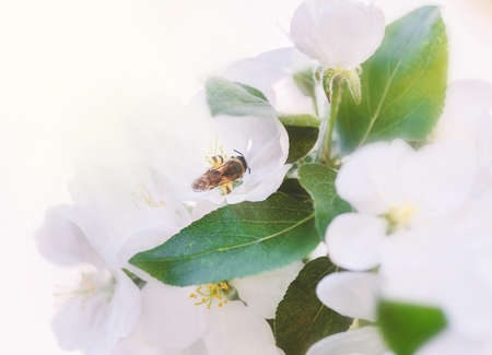 Bee on white tender apple blossom at spring day