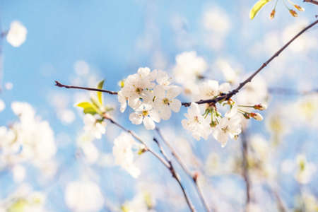 Pretty white cherry blossoms at sunny day on blue background Stock Photo