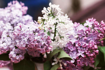 Beauty branches of white and violet blooming lilac