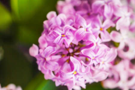Branch of lilla lilac for prety mood and scent Stock Photo