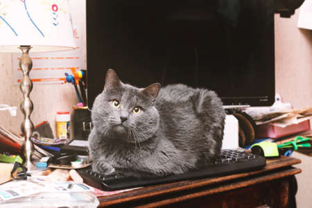 Adult pretty grey cat on computer keyboard in home room