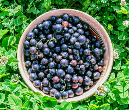 Fresh ripe black currant in bowl on grass Stock Photo
