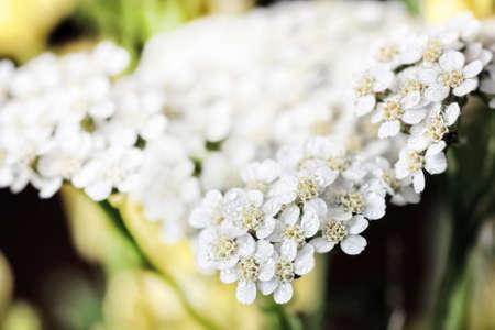 Beauty tender white flowers of yarrow large