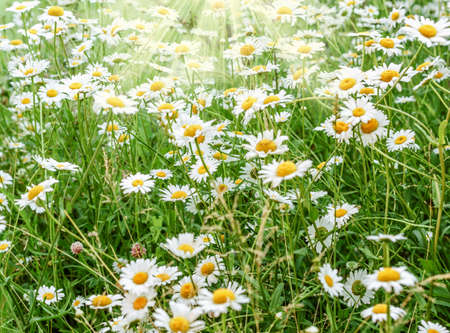 Summer day green chamomile field at good weather