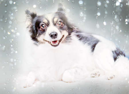 Pretty black and white dog on blurred background Stock Photo