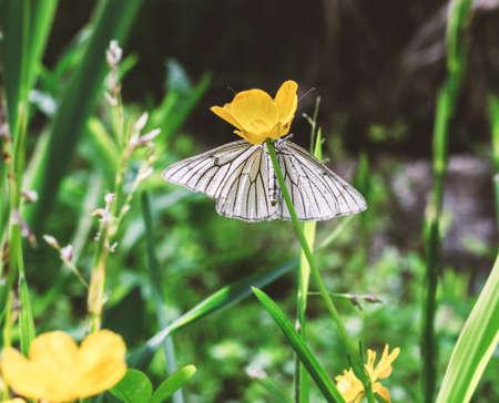 Tender white butterfly hiding on yellow flower