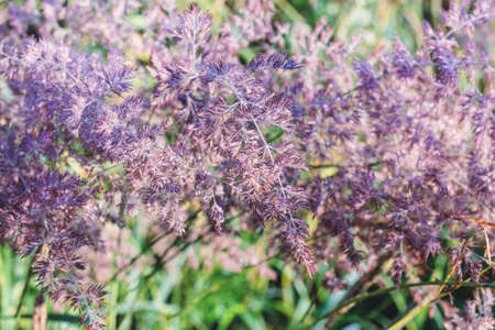 Best morning lilla summer grass in dew