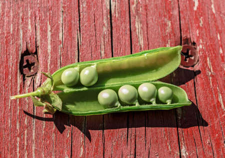 Green ripe peas in open pod at sunny summer day Stock Photo