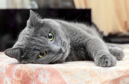 Pretty adult grey cat lying on his side Stock Photo