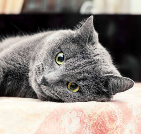 Pretty adult grey cat lying on his side on table Stock Photo