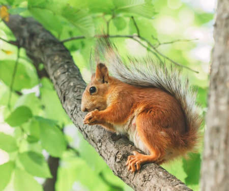 Pretty red squirrel on tree branch at day