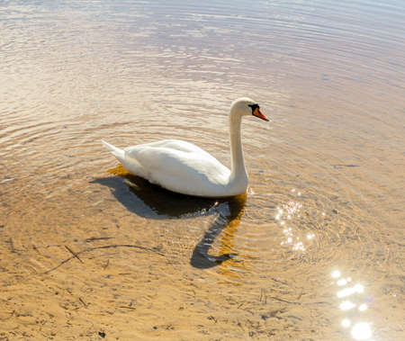 White swan on water in sunny weather Stock Photo - 107026743