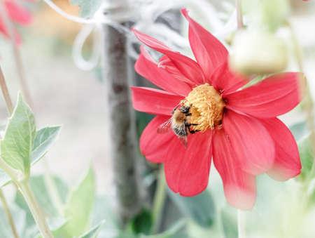 Bee on red flower dahlia at summer garden