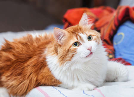 Adult charming pretty red cat listens carefully