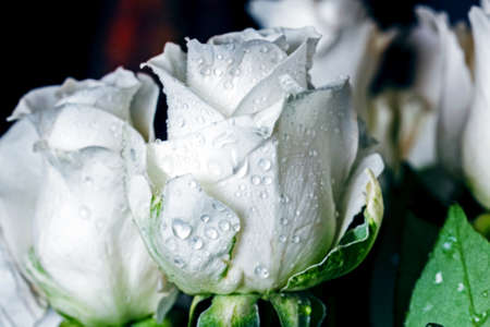 Close up large white roses in drops of water