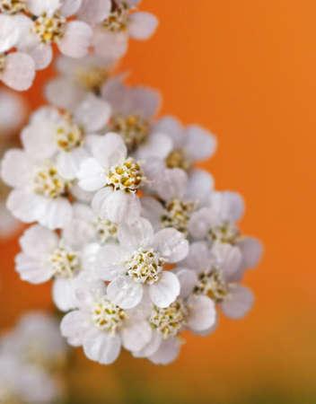 Pretty white flowers yarrow closeup at orange background Stock Photo