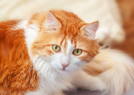 Pretty red white adult cat listens carefully and amazed
