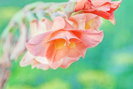 Flower of charming orange gladiolus large at summer garden