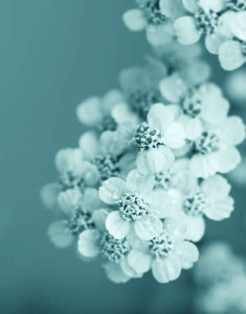 White yarrow flowers large in soft blue sepia