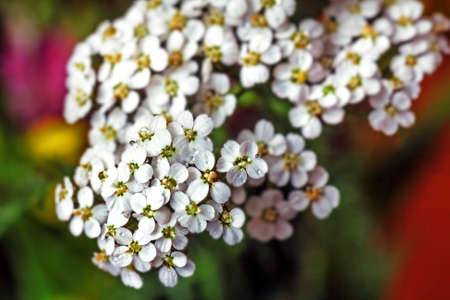 White pretty flowers yarrow large for good health mood Stock Photo